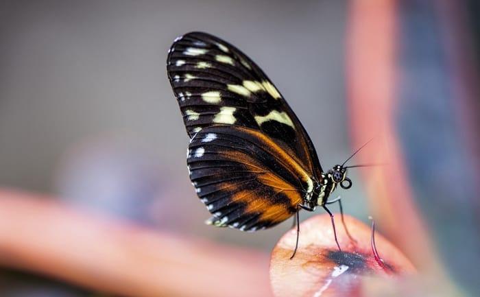 O que significa quando uma borboleta de visita