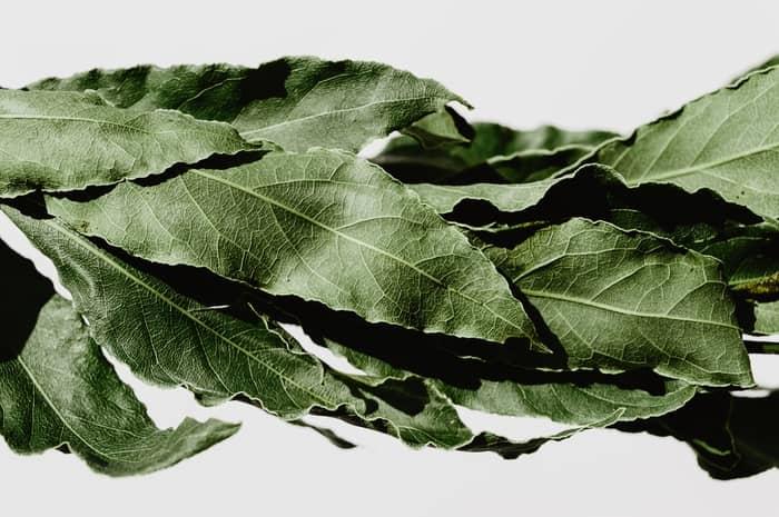 Folhas de loureiro
