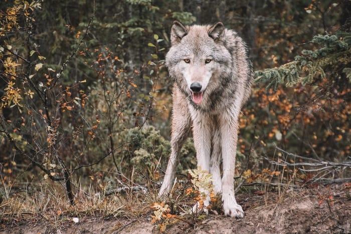 Significado espiritual do animal lobo