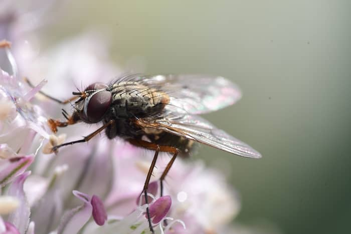 Qual o significado espiritual das moscas em casa ou pousando em mim