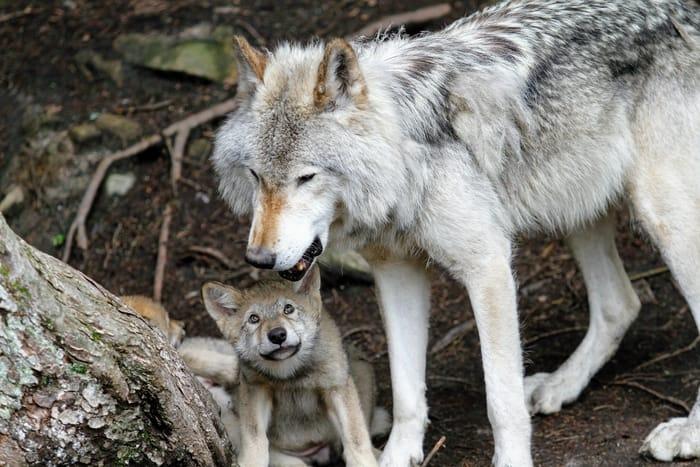 Filhote de lobo na espiritualidade