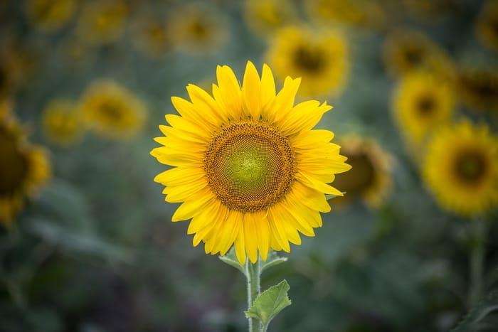 Significado espiritual da flor de girassol