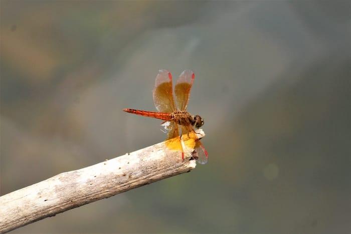 As 5 mensagens da libélula e o seu significado espiritual