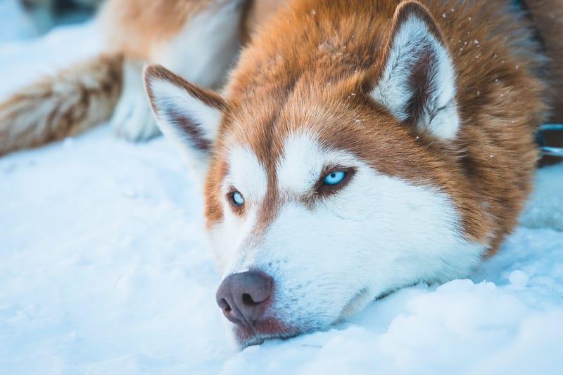 Significado Espiritual do Lobo | O que representa este animal?