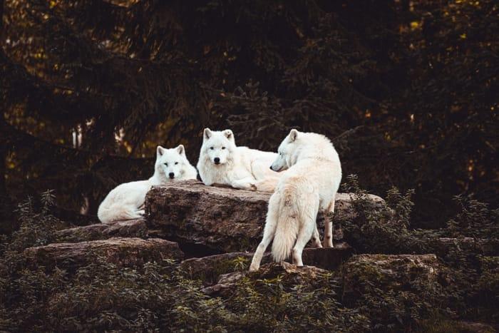 Significado da cor dos lobos