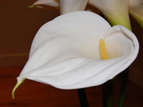 Significado espiritual do lírio da paz