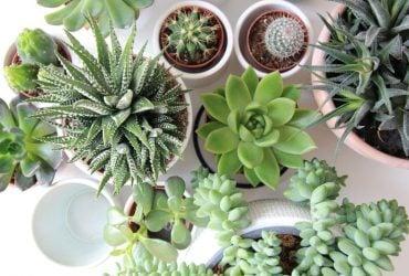 Qual o significado espiritual da planta suculentas?