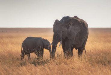 Qual o Significado do Elefante no Mundo Espiritual