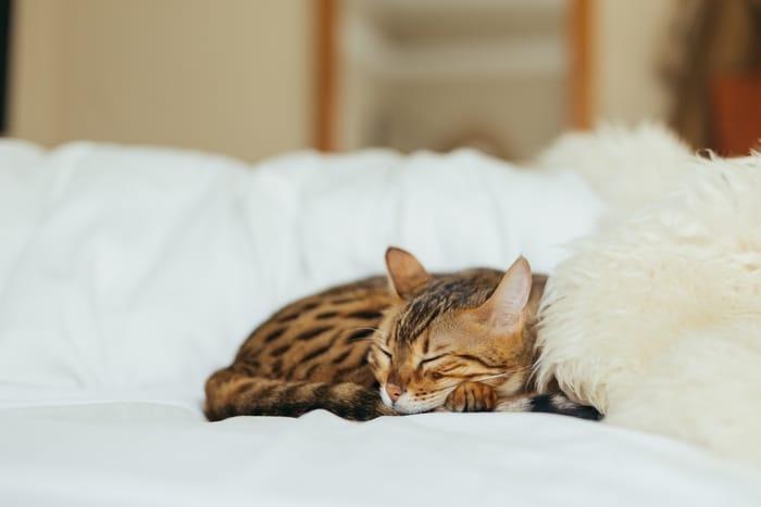 Os gatos podem ser os nossos protetores espirituais?