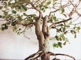 Bonsai: Significado Espiritual e 7 Benefícios de os Ter