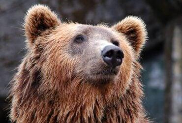 Animal de Poder Urso: Qual o significado do urso? Umbanda e Bíblia