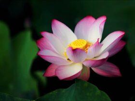 Significado da Flor de Lótus na Umbanda e Tatuagem: 7 Mensagens