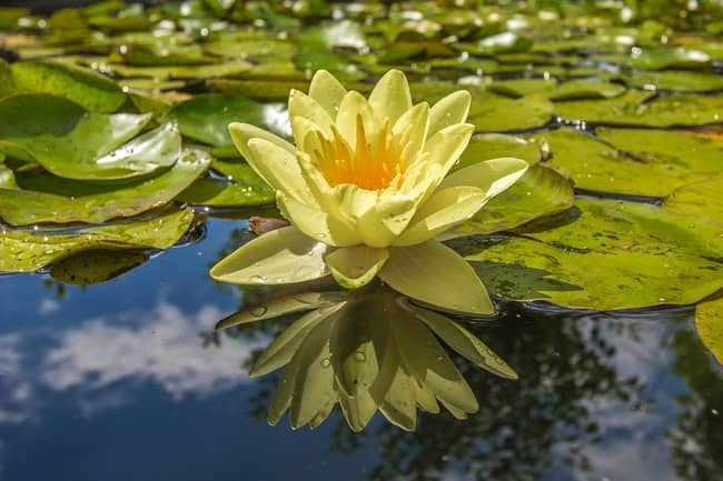 Significado da Flor de Lótus na Umbanda